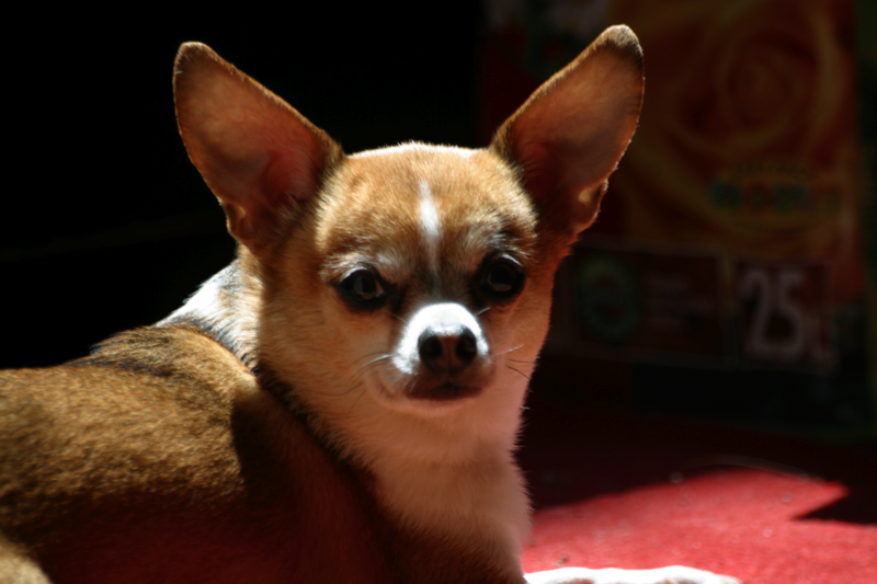 Best Low Fat Dog Food For Chihuahuas