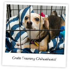 Crate Training Chihuahuas