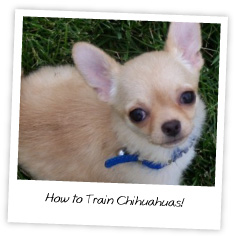 How to Train Chihuahuas!
