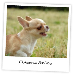 How to Stop Chihuahua Barking