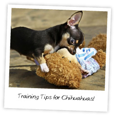 Training Tips for Chihuahuas!