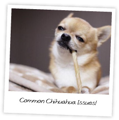 Common Chihuahua Issues