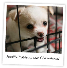 Health Problems with Chihuahuas