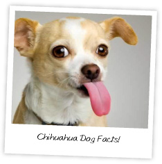 chihuahua dog facts