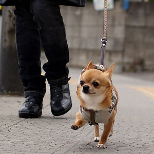 chihuahua-harness