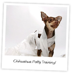 Chihuahua Potty Training