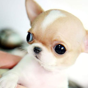 Teacup Chihuahuas