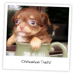 Chihuahua Traits