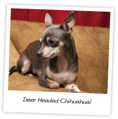 Tea Cup chi huahuas are not types of chihuahuas at all.