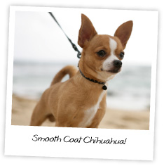 Smooth Coat Chihuahuas