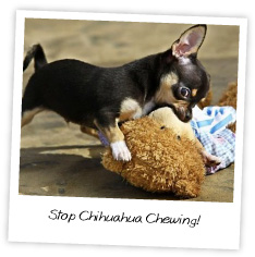 Stop Chihuahua Chewing