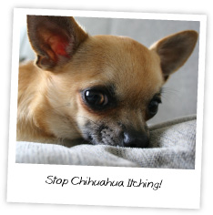 Stop Chihuahua Itching