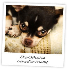 Stop Chihuahua  Separation Anxiety!
