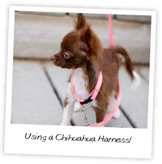 Using a Chihuahua Harness